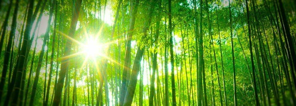 Le bambou une r elle solution contre les gaz effet de serre - Replanter un bambou coupe ...
